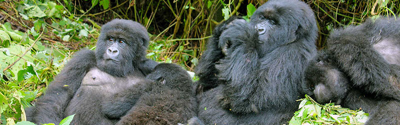 family-of-gorillas